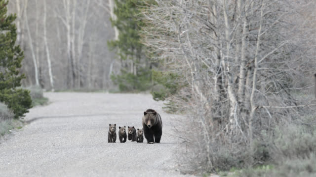 ws  4k  shot of famous grizzly bear #399 and her 4 coy/cubs (ursus arctos) as they walk out from their winter den - natural parkland stock videos & royalty-free footage