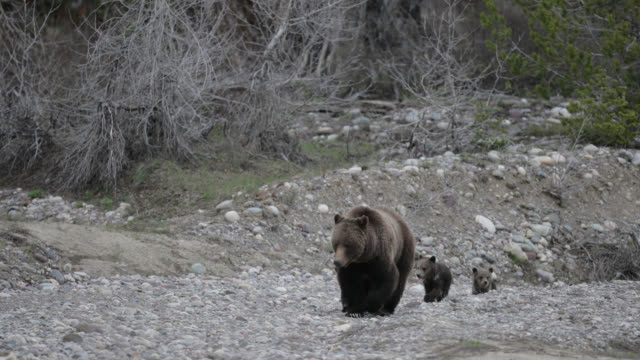 vidéos et rushes de ms  4k  shot of famous grizzly bear #399 and her 4 coy/cubs (ursus arctos) as they walk out from their winter den - ours brun