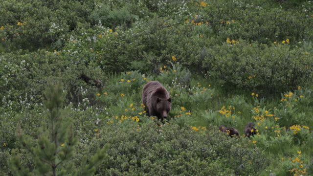 ms  4k  shot of famous grizzly bear #399 and her 4 coy/cubs (ursus arctos) as they walk out from their winter den - wyoming stock videos & royalty-free footage