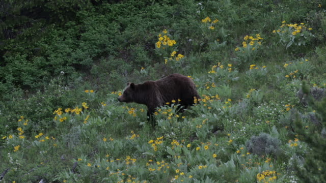 ms  4k  shot of famous grizzly bear #399 and her 4 coy/cubs (ursus arctos) as they walk out from their winter den - grand teton nationalpark stock-videos und b-roll-filmmaterial