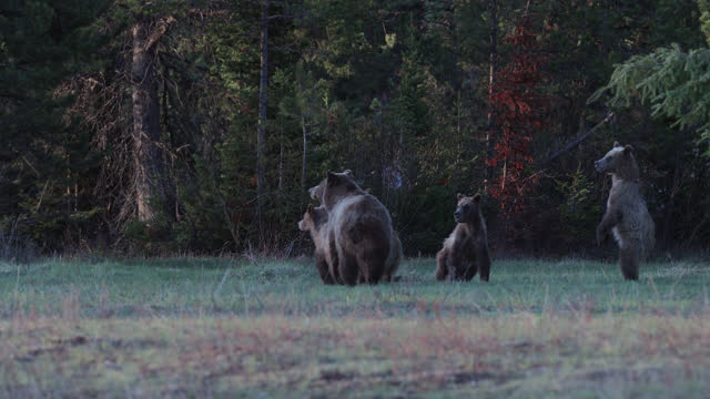 ms  4k  shot of famous grizzly bear #399 and her 4 coy/cubs (ursus arctos) as they walk/stand along the shore of oxbow bend/snake river - animal behaviour stock videos & royalty-free footage