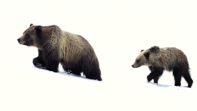 ms  4k  shot of famous grizzly bear #399 and her coy/cubs (ursus arctos) as they walk out from their winter den - brown bear stock videos & royalty-free footage