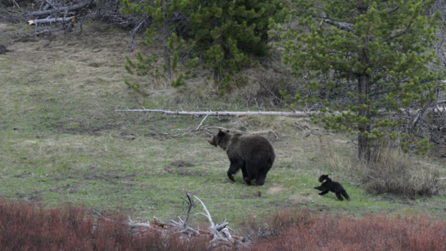 ws  4k  shot of famous grizzly bear #863 and her cub (ursus arctos) running through the meadow - 絶滅の恐れのある種点の映像素材/bロール