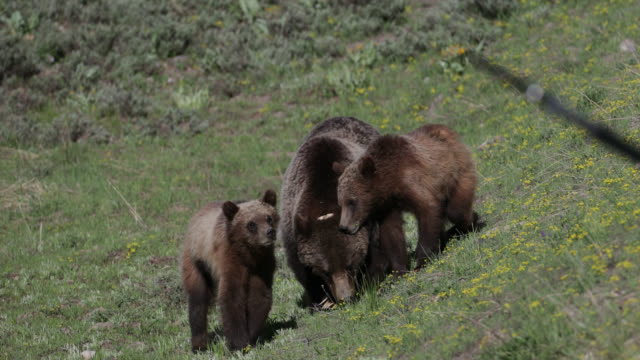 MS  4K  shot of famous grizzly bear #399 and her cubs (Ursus arctos) being harassed by a photographer's tripod