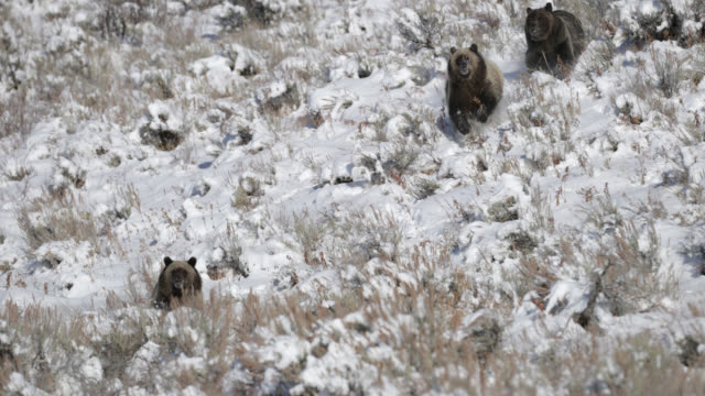 ws  4k  shot of famous grizzly bear #399 and her cubs (ursus arctos) charging at the camera - group of animals stock videos & royalty-free footage
