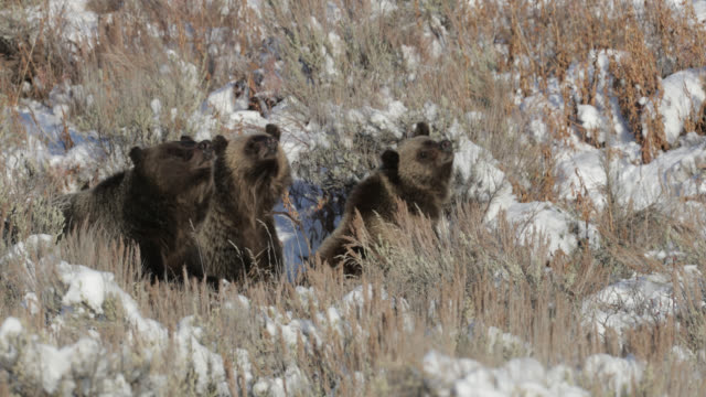 ms  4k  shot of famous grizzly bear #399 and her cubs (ursus arctos) charging at the camera - 2018 stock videos & royalty-free footage