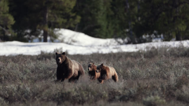 ms  4k  shot of famous grizzly bear #399 and her cubs (ursus arctos) charging at the camera - bedrohte tierart stock-videos und b-roll-filmmaterial
