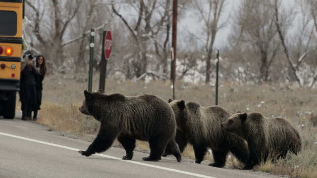 ms  4k  shot of famous grizzly bear #399 and her cubs (ursus arctos) crossing the road as a school bus stops traffic - north america stock videos & royalty-free footage