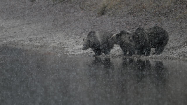 vídeos de stock, filmes e b-roll de ms  4k  shot of famous grizzly bear #399  (ursus arctos) and her cubs crossing the snake river in a blizzard - forma da água