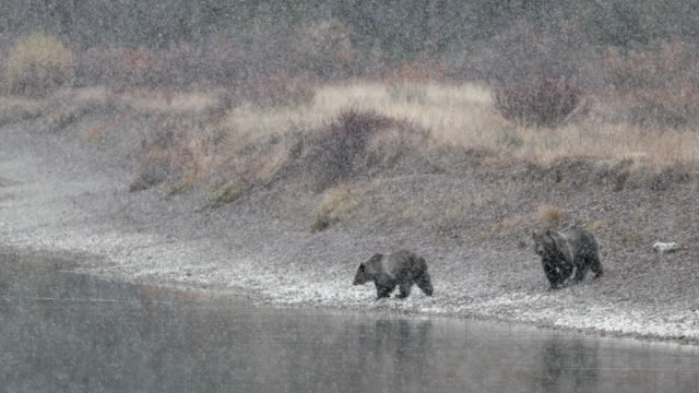 ws  4k  shot of famous grizzly bear #399  (ursus arctos) and her cubs crossing the snake river in a blizzard - 絶滅の恐れのある種点の映像素材/bロール