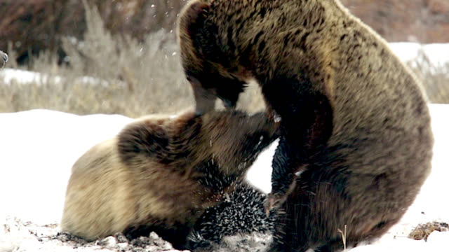 STS  4K  shot of famous grizzly bear #610  (Ursus arctos) and her cubs fighting in a blizzard