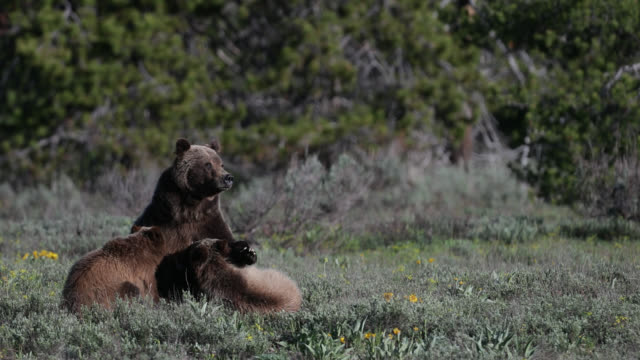 vidéos et rushes de ms  4k  shot of famous grizzly bear #399 and her cubs (ursus arctos) nursing/suckling - ours brun