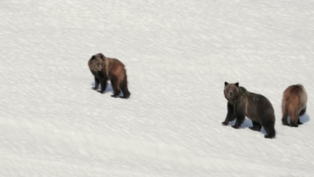 ws  4k  shot of famous grizzly bear #399 and her cubs (ursus arctos) running from a bear - 絶滅の恐れのある種点の映像素材/bロール