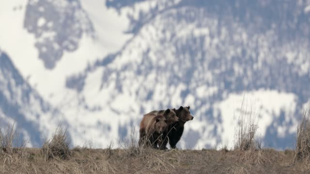 ws  4k  shot of famous grizzly bear #399 and her cubs (ursus arctos) running from a bear - montagne rocciose video stock e b–roll