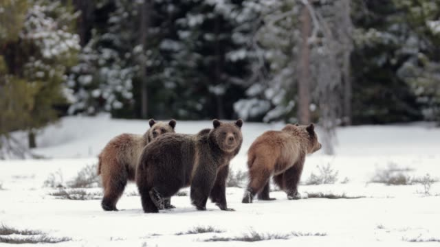 ms  4k  shot of famous grizzly bear #399 and her cubs (ursus arctos) running from a bear - 絶滅の恐れのある種点の映像素材/bロール