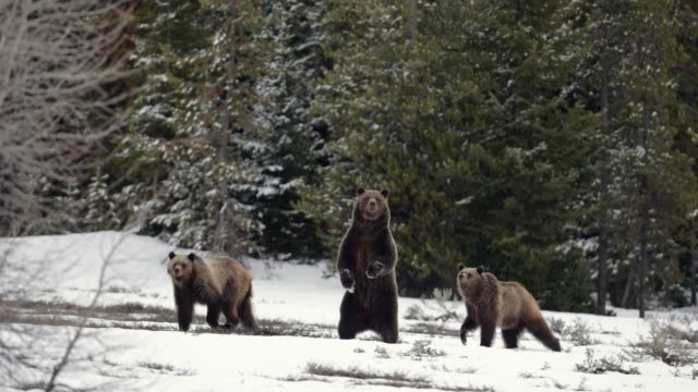 ms  4k  shot of famous grizzly bear #399 and her cubs (ursus arctos) standing/running from a bear - 絶滅の恐れのある種点の映像素材/bロール