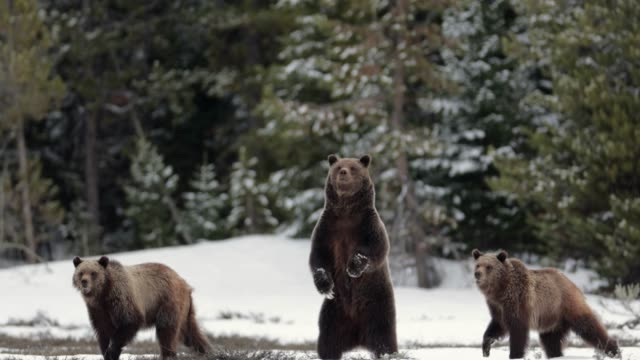 stockvideo's en b-roll-footage met ms  4k  shot of famous grizzly bear #399 and her cubs (ursus arctos) standing/running from a bear - yellowstone national park