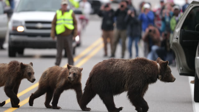 ms  4k  shot of famous grizzly bear #399 and her cubs (ursus arctos) walking across the highway at a bear jam - 2018 stock-videos und b-roll-filmmaterial