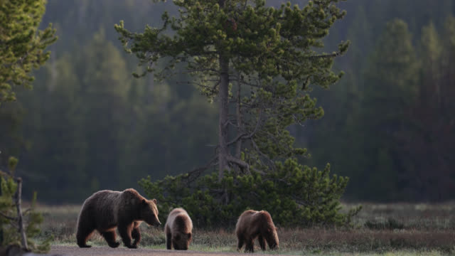 vidéos et rushes de ms  4k  shot of famous grizzly bear #399 and her cubs (ursus arctos) walking down a road at sunrise - ours brun