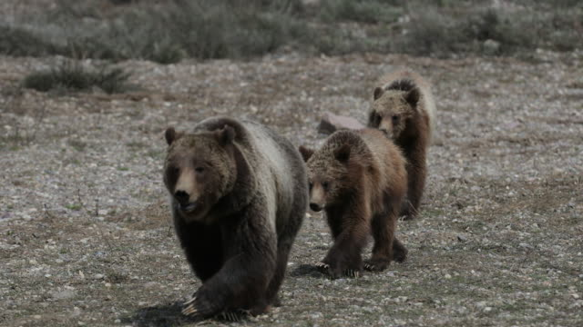 ms/ts  4k  shot of famous grizzly bear #399 and her cubs (ursus arctos) walking into the camera - 絶滅の恐れのある種点の映像素材/bロール