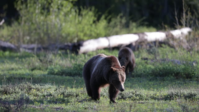 ms  4k  shot of famous grizzly bear #399 and her cubs (ursus arctos) walking into the camera - bärenjunges stock-videos und b-roll-filmmaterial
