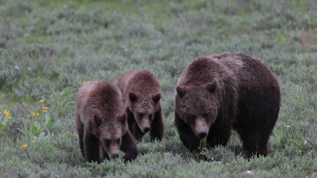 vidéos et rushes de ts  4k  shot of famous grizzly bear #399 and her cubs (ursus arctos) walking into the camera - ours brun