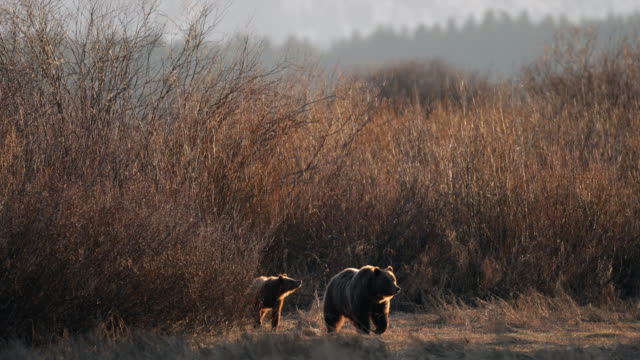 ws  4k  shot of famous grizzly bear #399 and her cubs (ursus arctos) walking out of the willows at sunset - クマ点の映像素材/bロール