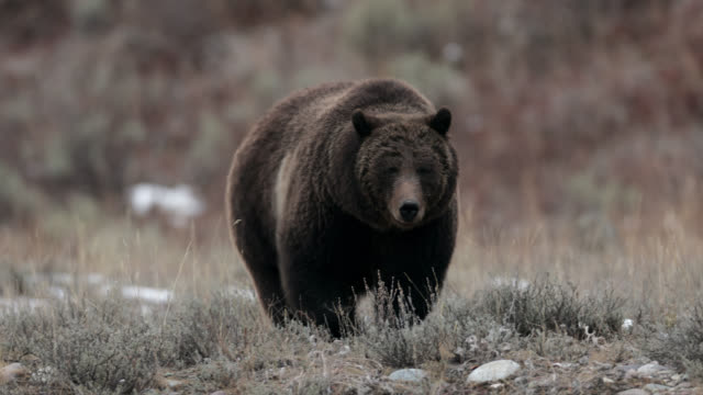 vidéos et rushes de ts  4k  shot of famous grizzly bear #399 (ursus arctos) as she heads to her winter den - parc national de yellowstone