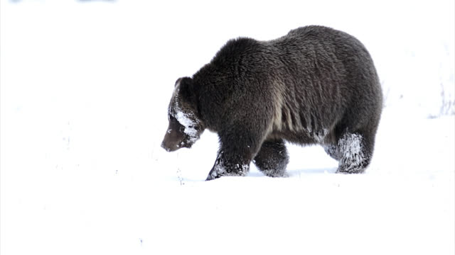 ms  4k  shot of famous grizzly bear #399 (ursus arctos) as she heads to her winter den - 2018 stock videos & royalty-free footage