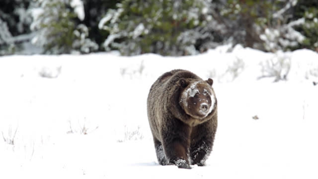 ms  4k  shot of famous grizzly bear #399 (ursus arctos) as she heads to her winter den - threatened species stock videos & royalty-free footage