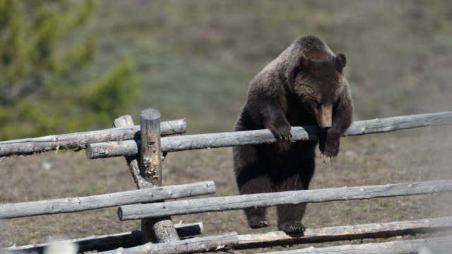 MS  4K  shot of famous grizzly bear #399 (Ursus arctos) climbing over a buck rail fence