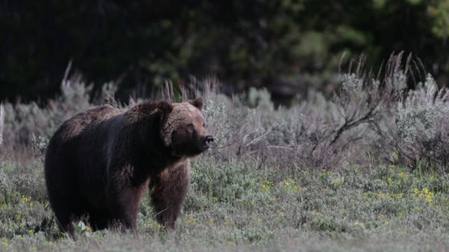 ms  4k  shot of famous grizzly bear #399  (ursus arctos) eating flowers - rocky mountains stock-videos und b-roll-filmmaterial