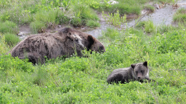 ms  4k  shot of famous grizzly bear #863 / felicia and her cub of the year (ursus arctos) as they nurse and play in the wildflowers - wyoming stock videos & royalty-free footage