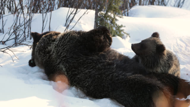 ms  4k  shot of famous grizzly bear #863 / felicia (ursus arctos) and her cub of the year as they head through the fresh snow to their winter den - cub stock videos & royalty-free footage