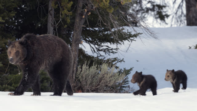 ms  4k  shot of famous grizzly bear #863 / felicia (ursus arctos) emerging from hibernation in the fresh snow - wyoming stock videos & royalty-free footage