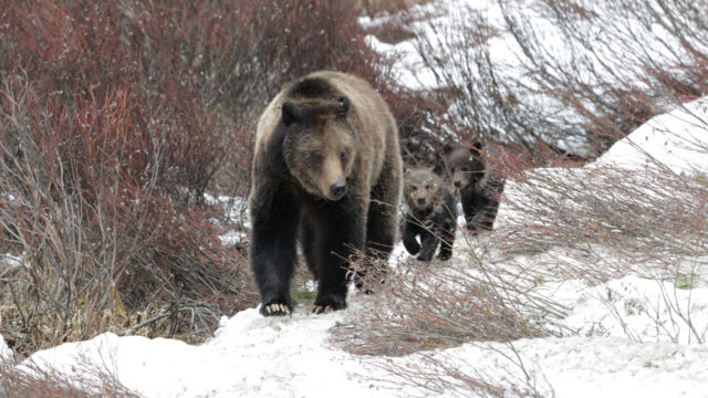 ms  4k  shot of famous grizzly bear #863 / felicia (ursus arctos) emerging from hibernation in the fresh snow - bärenjunges stock-videos und b-roll-filmmaterial