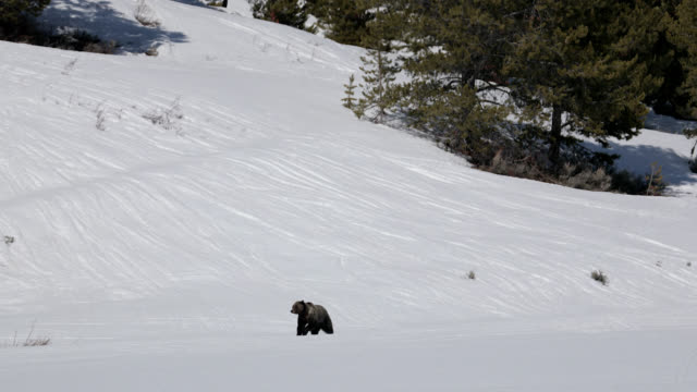 ws  4k  shot of famous grizzly bear #863 / felicia (ursus arctos) running in the snow - braunbär stock-videos und b-roll-filmmaterial