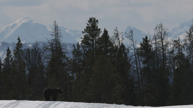 ws  4k  shot of famous grizzly bear #863 / felicia (ursus arctos) walking in the snow in front of the teton range - teton range stock videos & royalty-free footage