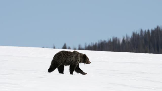 ms  4k  shot of famous grizzly bear #863 / felicia (ursus arctos) walking in the snow - braunbär stock-videos und b-roll-filmmaterial