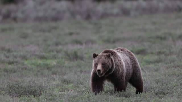 vidéos et rushes de ms  4k  shot of famous grizzly bear #399  (ursus arctos) walking into the camera - ours brun