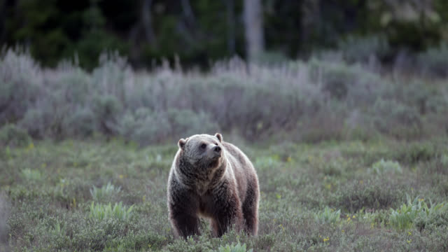 ms  4k  shot of famous grizzly bear #793 (ursus arctos) walking toward the camera - bedrohte tierart stock-videos und b-roll-filmmaterial