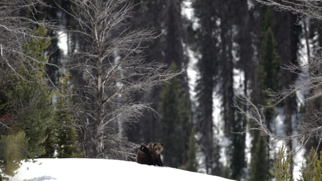 MS  4K  shot of famous grizzly bear #863 with her cub (Ursus arctos) on her back / in the snow