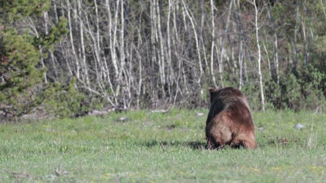 vídeos y material grabado en eventos de stock de ms  4k  shot of famous grizzly bear #399's (ursus arctos) courtship with male grizzly bear #679 bruno - cordillera tetón