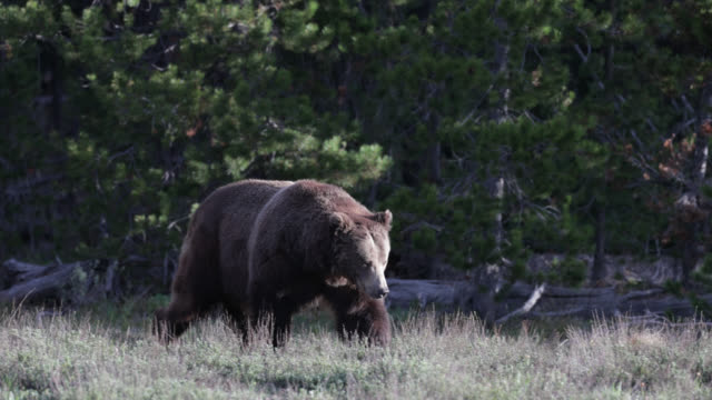 ms  4k  shot of famous grizzly bear #399's (ursus arctos) courtship with male grizzly bear #679 bruno - mating stock videos & royalty-free footage
