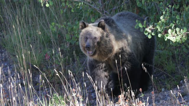 ts  4k  shot of famous grizzly bear #610's cub  (ursus arctos) as she comes down the hillside - wyoming stock videos & royalty-free footage