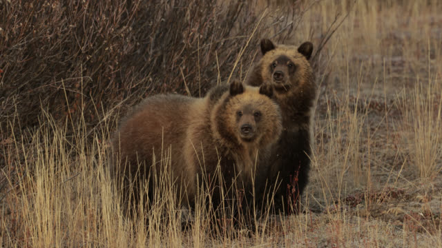 ms  4k  shot of famous grizzly bear #610's (ursus arctos) cub of the year - mating stock videos & royalty-free footage