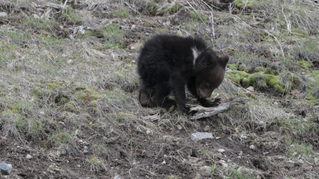 ts  4k  shot of famous grizzly bear #863's  cub (ursus arctos) playing with a stick - bear cub stock videos and b-roll footage