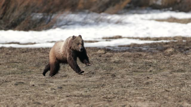 ms  4k  shot of famous grizzly bear #399's cub (ursus arctos) running from a bear - bedrohte tierart stock-videos und b-roll-filmmaterial