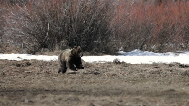 ms  4k  shot of famous grizzly bear #399's cub (ursus arctos) running from a bear - north america stock videos & royalty-free footage