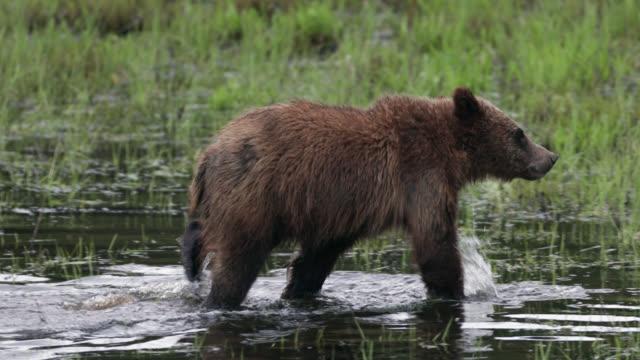 vídeos y material grabado en eventos de stock de ts  4k  shot of famous grizzly bear #399's cub (ursus arctos) walking through a stream - cordillera tetón
